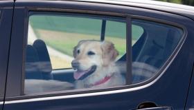 Как гаишник может оштрафовать за животное в машине?